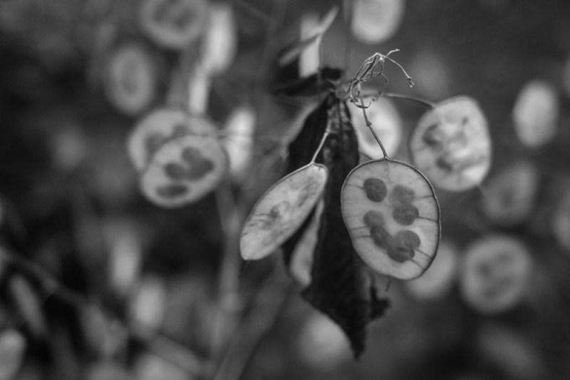 seed pods, one fallen dried leaf, yard, Asheville, NC, Nikon D3300, mamiya sekor 80mm f-2.8, 7.10.20