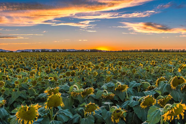 Dixon Sunflowers at Sunset