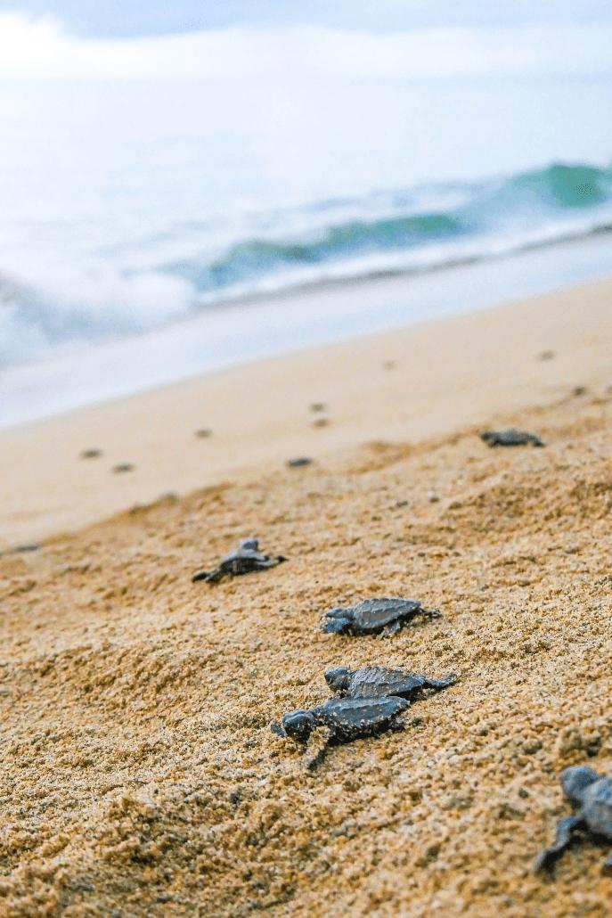 Tortugas_Riviera_Nayarit4