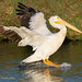 American White Pelican Landing With Wings Back And Feet Out And Down On The Water