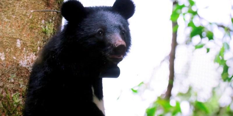 【左右電影院】《黑熊來了》:台灣黑熊紀錄片