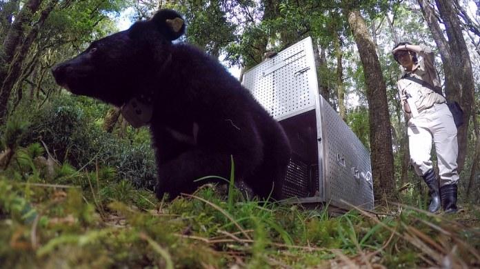 台東廣原小熊Mulas,經過野灣野動保育協會醫護,得以順利重返野外。(資料照片)台東林管處提供