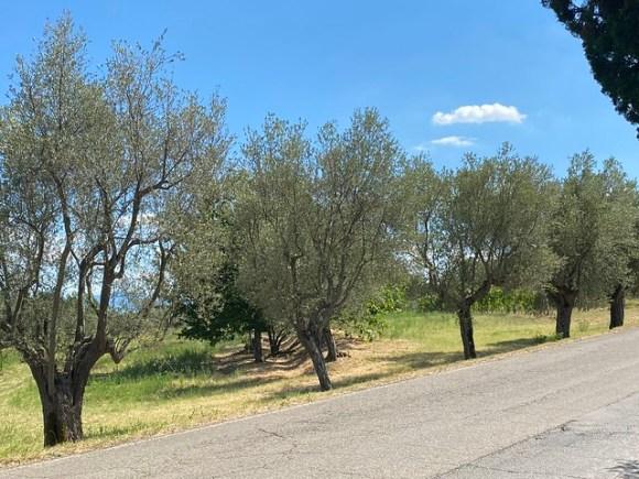 Alte Olivenbaum Allee