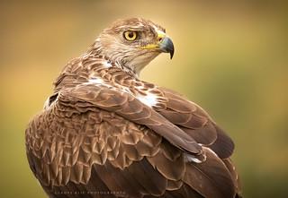 Havikarend / Bonelli's eagle / Aigle de Bonelli