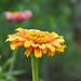 Zinnia flower (Zinnia elegans, ヒャクニチソウ, 百日草)