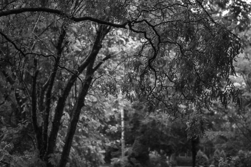 corkscrew willow tree, branches, leaves, backlit, rain, yard, Asheville, NC, Nikon D3300, mamiya sekor 80mm f-2.8, 7.30.20