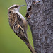 A Brown Creeper Searches For Insects In A Split And Peeling Bark