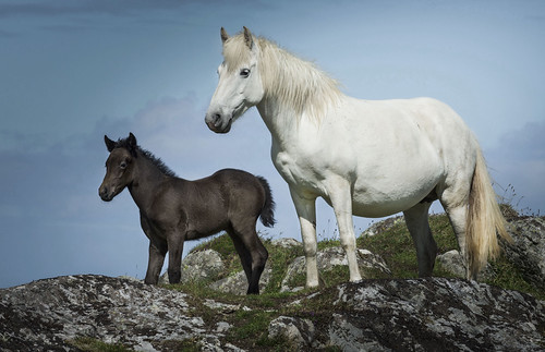 Eriskay pony and foal