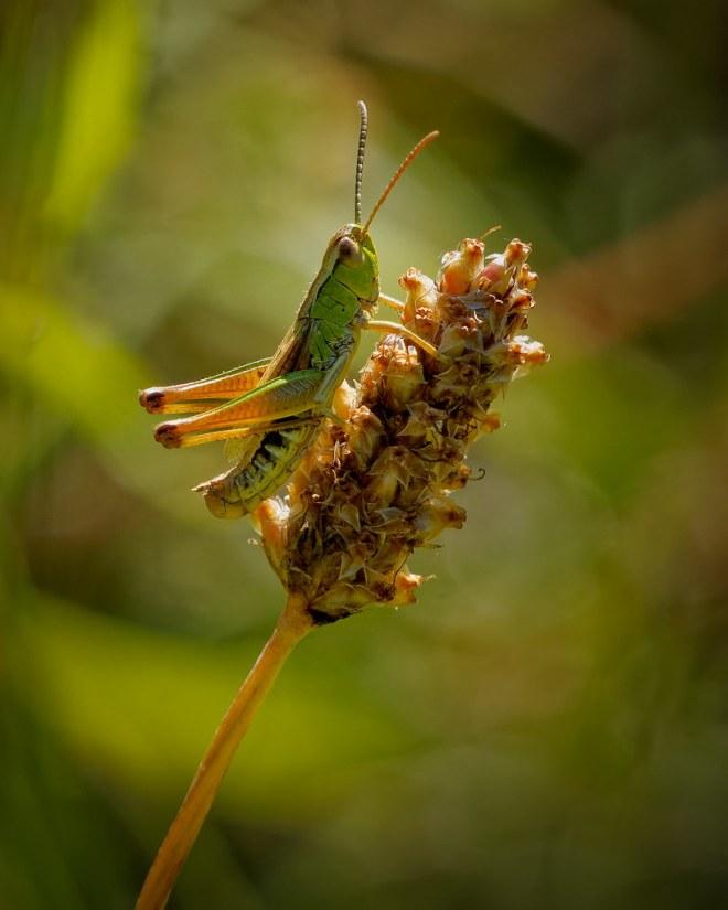 JC-219 (6 August) Grasshopper