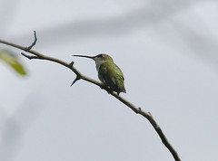 Black-chinned Hummingbird-Goosehaven Lake WMA, ID-6-24-2020