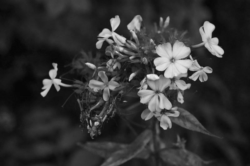floral cluster, wildflowers, D3300, nikon nikkor 55mm f-3.5, 8.15.20