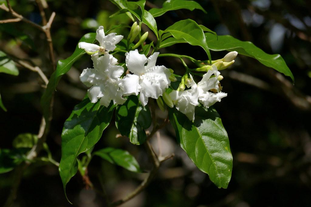 L1410935 馬茶花 | 「馬茶花」Tabernaemontana divaricata L. 別名:馬蹄花,山馬茶… | Flickr