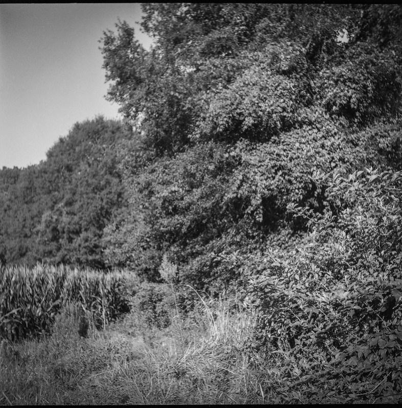 August landscape, dense vegetation, full trees, cornfield, Biltmore Estate,  Asheville, NC, Ricohflex Dia M, Fomapan 200, Moersch Eco film dveloper, 8.17.20