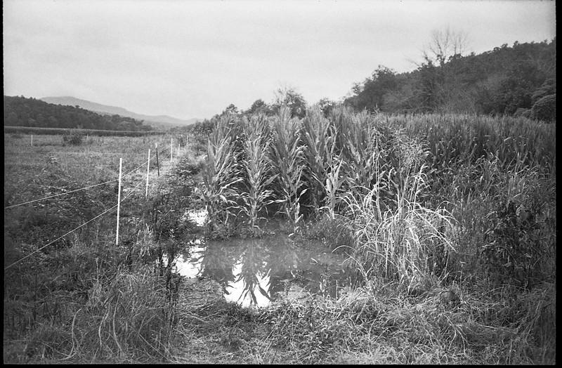 cornfield, flooded corner, wire fence, Biltmore Estate, Asheville, NC, Minolta Freedom Dual 60, Kodak Tri-X 400, HC-110 developer, 8.21.20