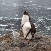 Gentoo penguin couple