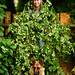Hops vines 18'