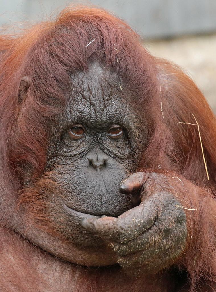 Anak Orangutan : orangutan, Borneo, Orangutan, Ouwehand, BB2A0242, Flickr