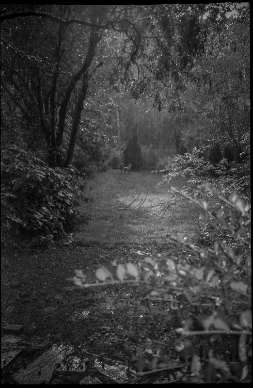 summer downpour, yard, from studio door, Asheville, NC, Leica C1, Fomapan 200, Moersch Eco film developer, late August 2020