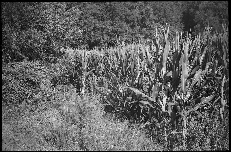 cornfield, tall stalks, grasses, forest's edge, Biltmore Estate, Asheville, NC, Leica C1, Fomapan 200, Moersch Eco film developer, late August 2020