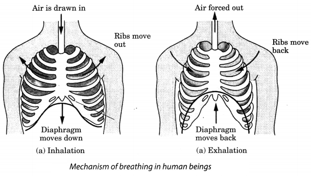 Respiration in Organisms Class 7 Extra Questions and Answers Science Chapter 10 4