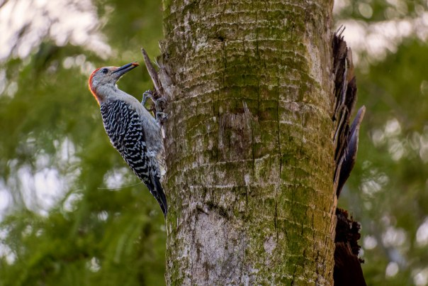 Red-bellied Woodpecker and a grub(?)