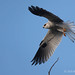 A White-tailed Kite Flies Over One Of Its Favorite Perches