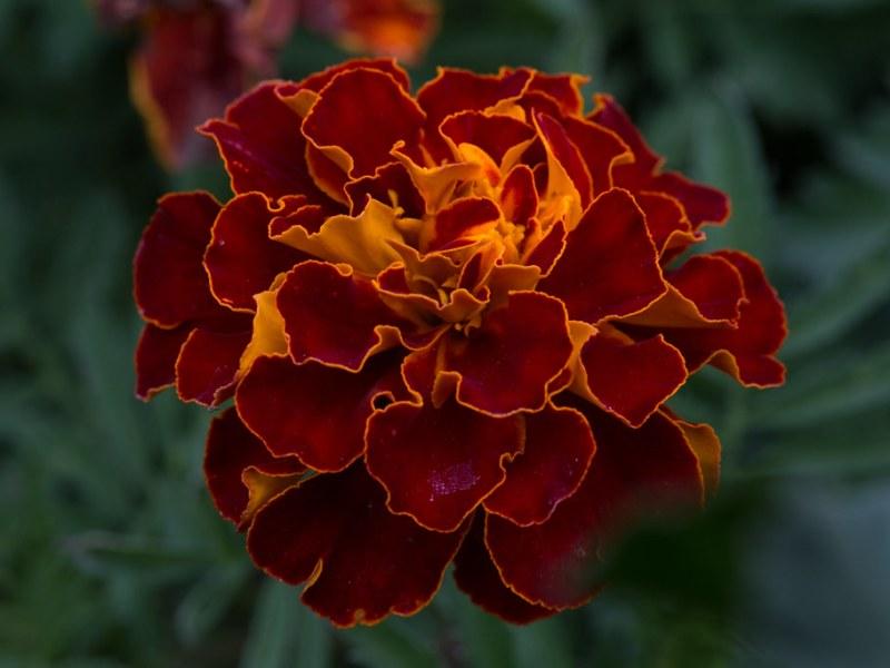 marigold-1