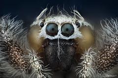 araña saltarina Thyene imperialis [8x] [Explore #28 2020-09-24]
