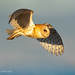 A Barn Owl Flying Through The Subtle Blue Shades Of An Early Morning Sky