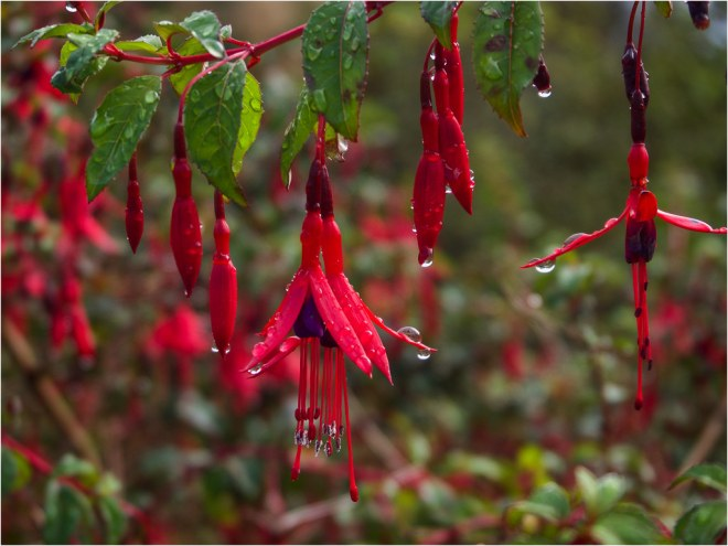 Day 268 Fuschia