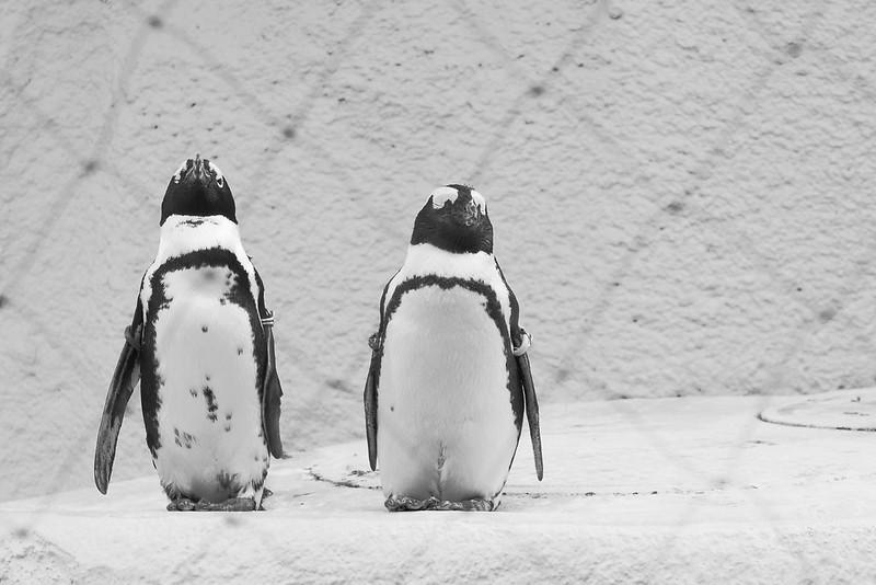 Jackass penguin ケープペンギン