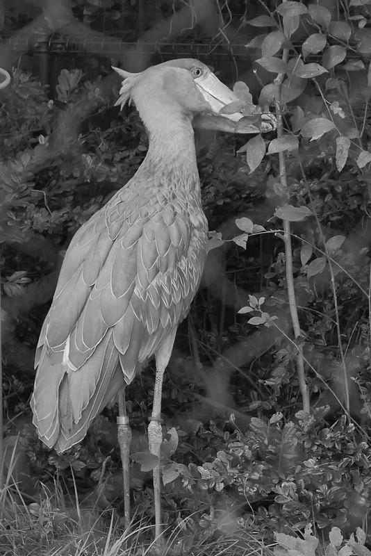 shoebill stork ハシビロコウ