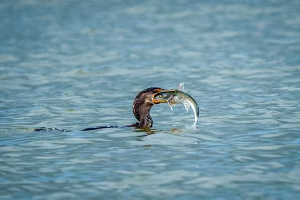 Eye to eye: Cormorant vs. fish