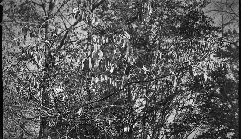 looking up, canopy of leaves, speckled light, early evening, Asheville, North Carolina, Kodak Bantam, 828 film camera, 35mm film, Arista.Edu 200, Moersch Eco film developer, 10.15.20