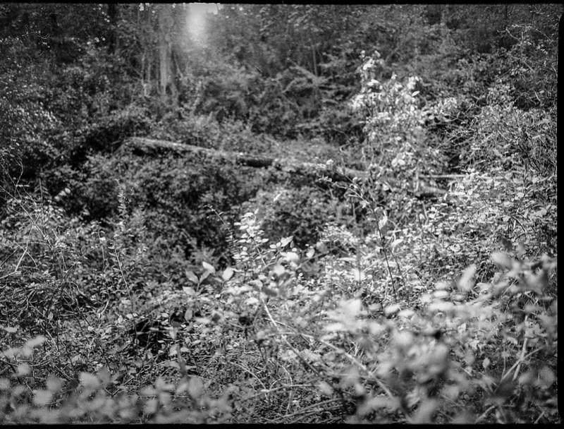 overgrown clearing, forest, late light, Biltmore Estate, Asheville, NC, Mamiya 645 Pro, mamiya sekor 45mm f-2.8, Arista.Edu 400, Moersch Eco film developer, 10.16.20