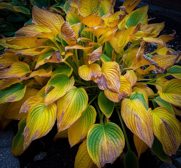 Hosta leaves turning