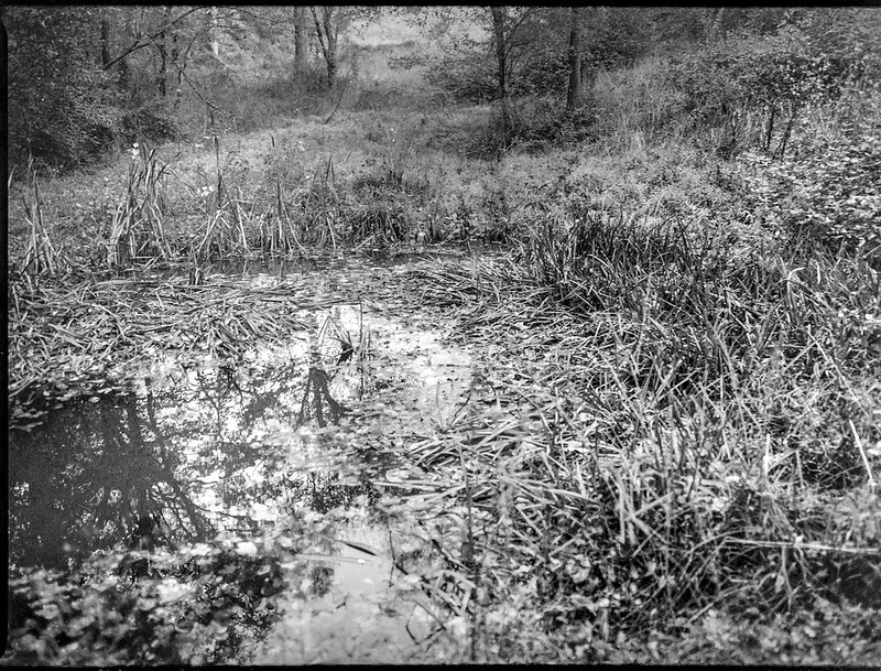 small pond, trampled reeds, reflections, Biltmore Estate, Asheville, NC, Mamiya 645 Pro, mamiya sekor 45mm f-2.8, Arista.Edu 400, Moersch Eco film developer, 10.16.20