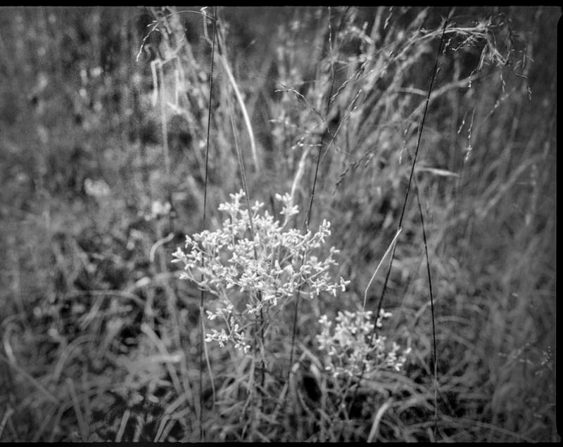 clusters, wild flowers, tall grasses, Biltmore Estate, Asheville, NC, Mamiya 645 Pro, mamiya sekor 45mm f-2.8, Arista.Edu 400, Moersch Eco film developer, 10.16.20