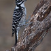 Female Nuttall's Woodpecker Uses Stiff Tail Feathers As A Prop To Stand Upright On A Sloping Oak Branch