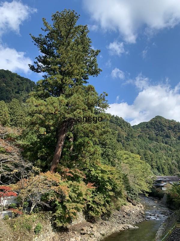 室生寺 川のほとりの大木
