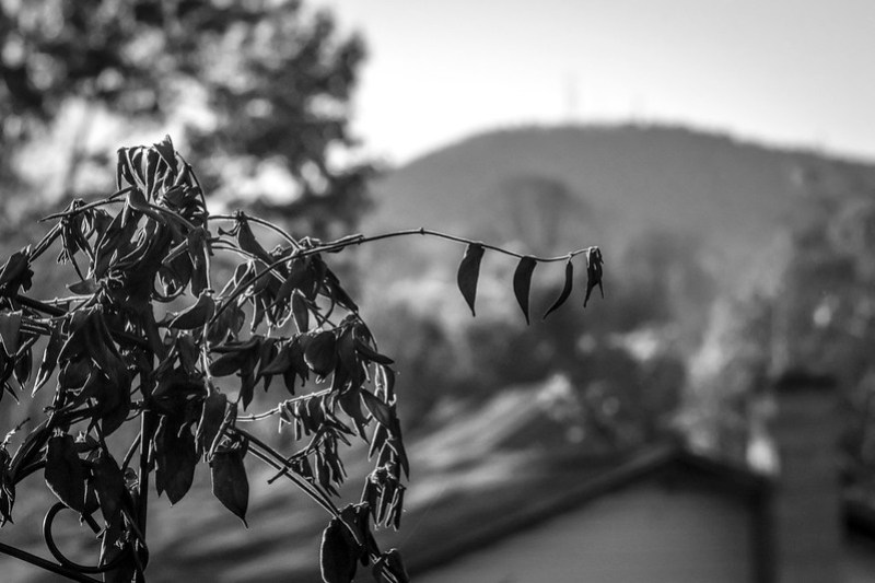 through wilting leaves and branches, distant hill, Asheville, NC, Nikon D3300, mamiya sekor 145mm f-4, 11.4.20