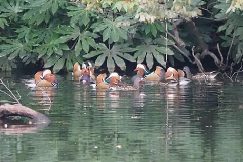 オシドリ Mandarin duck