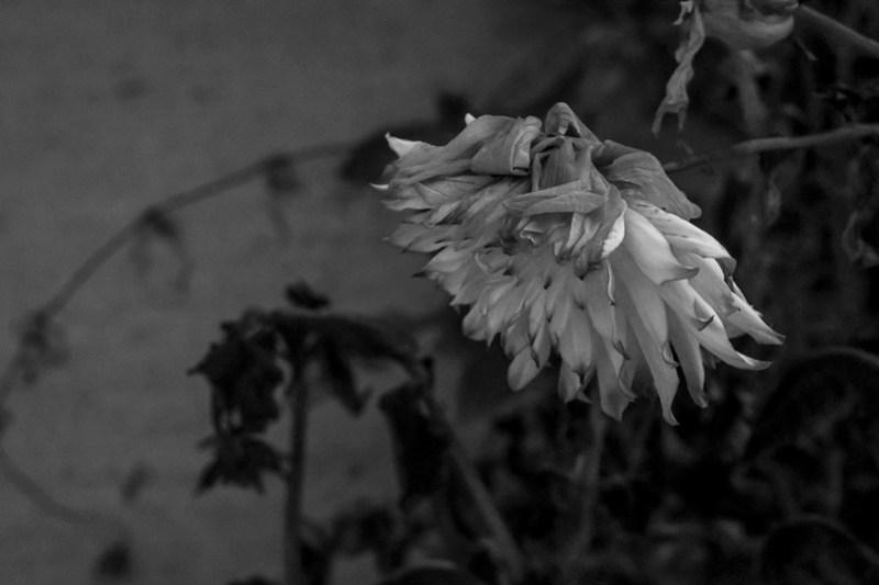 wilting blossom, late autumn, Asheville, NC, Nikon D3300, mamiya sekor 145mm f-4, 11.4.20