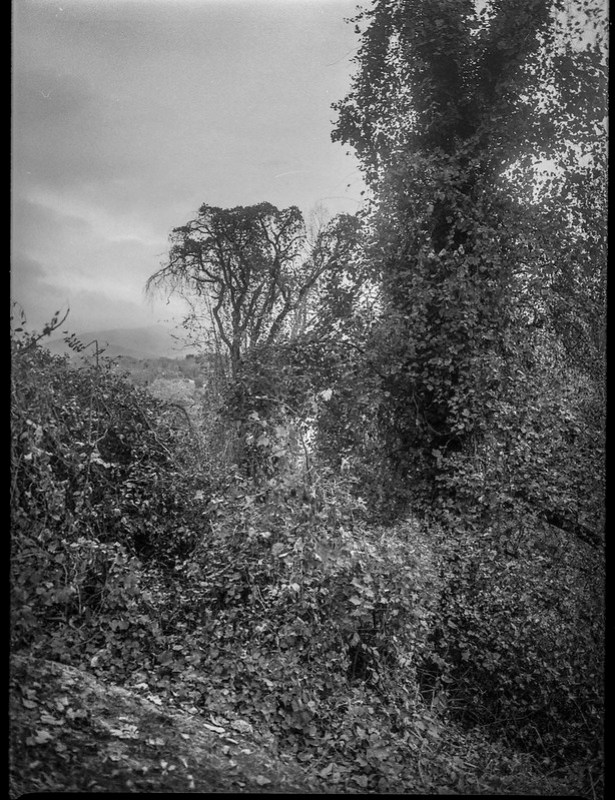 winter landscape, ivy-covered tree trunks, distant mountain, near dusk, grounds, Kenilworth Inn, Asheville, NC, Mamiya 645 Pro, mamiya sekkor 45mm f-2.8, Foma 400, HC-110 developer, 11.10.20