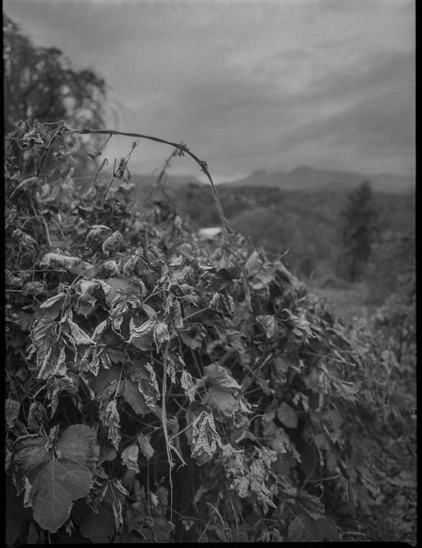 shriveling kudzu, looping vine, winter landscape, distant conifer, near dusk, grounds, Kenilworth Inn, Asheville, NC, Mamiya 645 Pro, mamiya sekkor 45mm f-2.8, Foma 400, HC-110 developer, 11.10.20