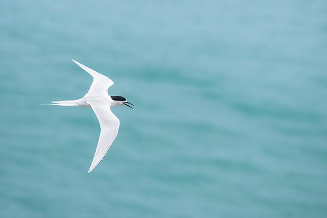 White Fronted Tern (Tara)