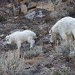 Nannie And Kid Rocky Mountain Goats Feeding As They Walk Through A Talus Slope