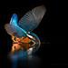 Ijsvogel / Kingfisher / Martin Pêcheur