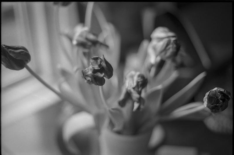 wilting tulips, window-side, dining room, Asheville, NC, Minolta XG-M, Super Albinon 28mm f-2.8, Ilford XP4+, Moersch Eco film developer, 12.17.20