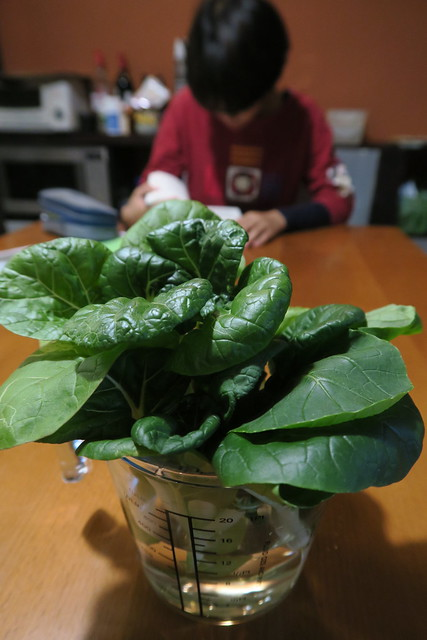 學校/自家兩地種植小白菜PK賽(2020.11.25-2020.12.27)